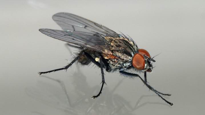Мухи – очень распространенный и вредоносный вид насекомых, обитающих в квартире
